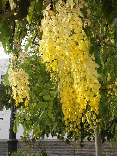 Shower Tree by 10 Seeds Ornamental Thai Golden Shower Tree Cassia