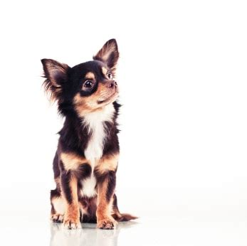 failure in dogs congestive failure in dogs chihuahua tips