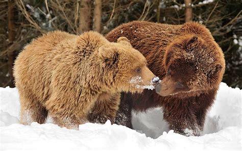 oso pardo oso pardo image gallery oso cafe