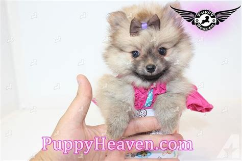 pomeranian for sale in portland oregon yorkie maltese pomeranian maltipoo poodle shih tzu more for sale in