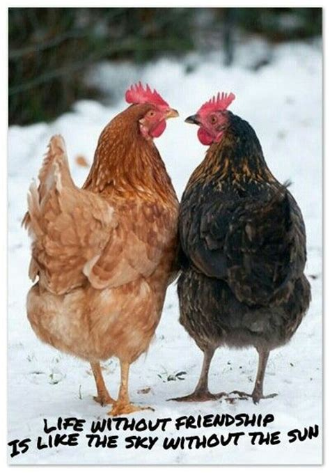 Mainan Ayam Bertelur The Funy Lay Egg Hen 1000 images about chickens n roosters on baby the rooster and a chicken