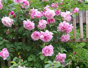 introduction to climbing roses htm