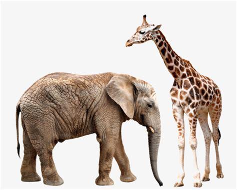 Imágenes De Jirafas Y Elefantes | jirafas y elefantes elefante jirafa animal png image