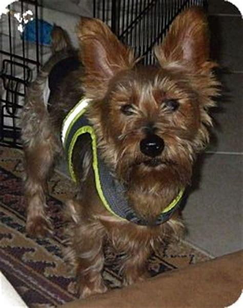 yorkie puppy rescue florida dunedin fl yorkie terrier schnauzer miniature mix meet max a for