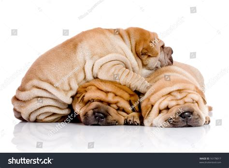 shar pei puppies babies available three shar pei baby dogs almost one month stock photo 16178017