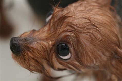 how often do yorkie puppies yorkie puppy jpg hi res 720p hd