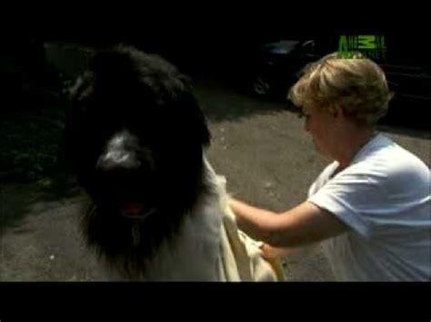 animal planet dogs 101 yorkie dogs 101 newfoundland dogs