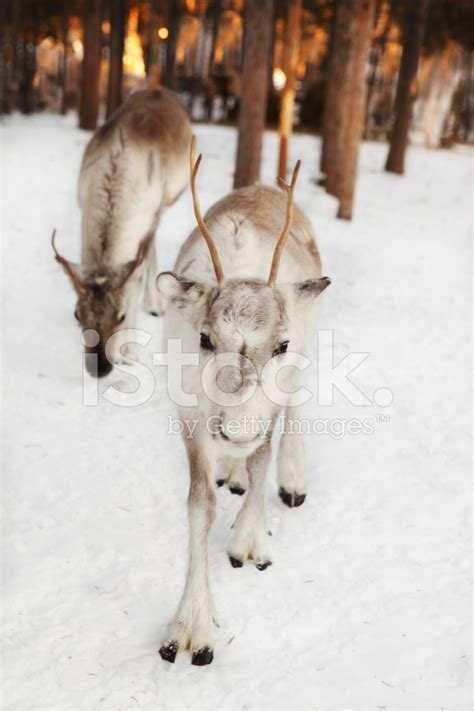 Baby White Reindeer IN Lapland Forest With Arctic Sunrise stock photos   FreeImages.com