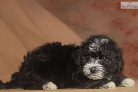 havanese indiana remington havanese puppy for sale near indianapolis indiana 97ba9be8 9bd1