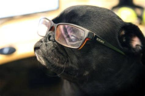are pugs intelligent 100 best cutiest funniest dogs in the world pugs images