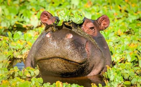 Hip Hippo by Hip Hippo For International Hippo Day 183 Etb Travel News