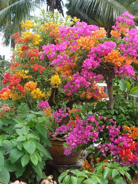 Compare Prices On Tree Bougainvillea Online Shopping Buy Buy Garden Flowers