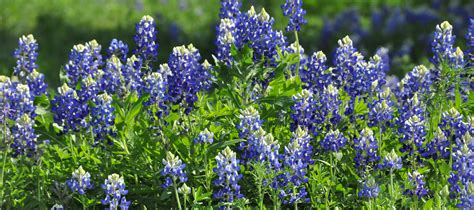 texas bluebonnets living loving laughing