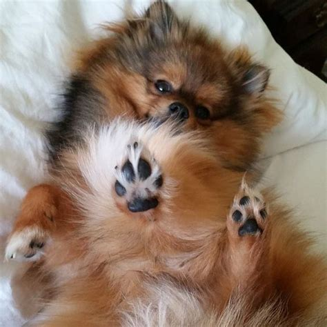 pomeranian paws 14 reasons pomeranians are the worst indoor breeds of all time