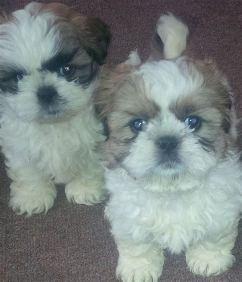 trained shih tzu puppies for sale shih tzu puppy birmingham west midlands pets4homes