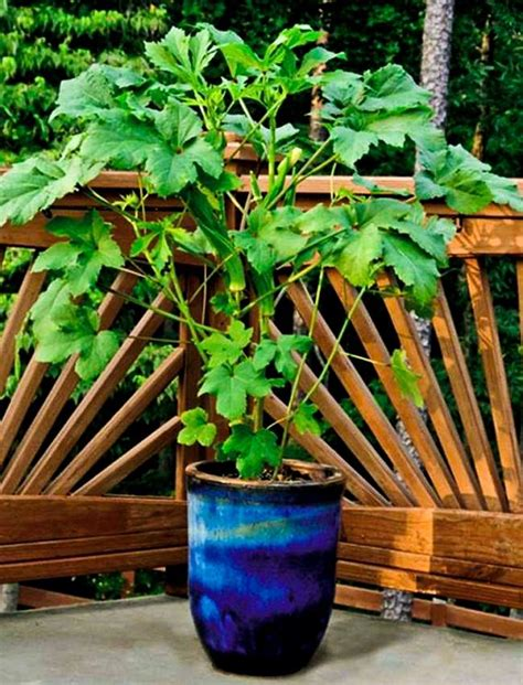 vegetable garden in pots growing okra in pots how to grow okra in containers