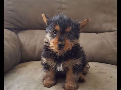 silky terrier puppies for sale silky terriers for sale silky terrier for sale by silky terriers lax american
