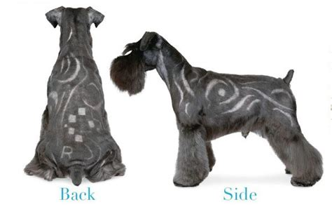asian style schaunzer hair trim 7 pageant worthy schnauzer dog haircuts hairstylec