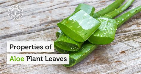 Leaf Outer properties of aloe plants inner leaf versus outer leaf