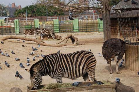 fotos animales zoo barcelona cebras zoo de barcelona fotos de animales