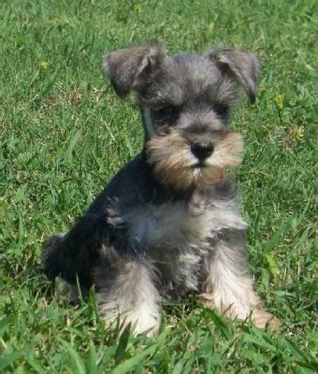 Mini Miniature 186 Yellow best 25 schnauzer mix ideas on mini schnauzer