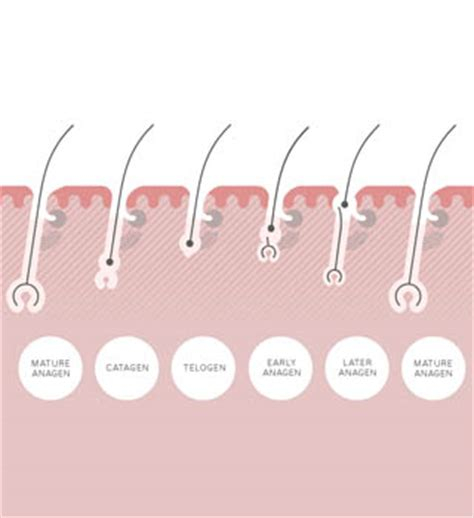 what is hair of the the three stages of the hair growth cycle philip kingsley