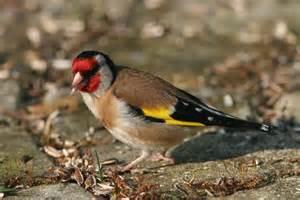 oiseau du jardin par jean rochette sur l internaute