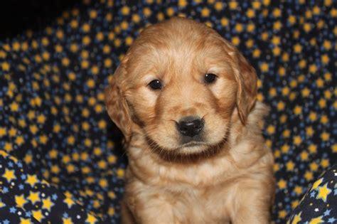 golden retriever breeders in nj and pa golden retriever puppies for sale in gordonville pennsylvania http www network34