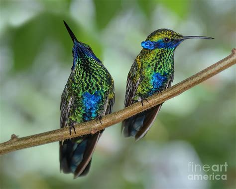 two sparkling violetear hummingbirds photograph by olga