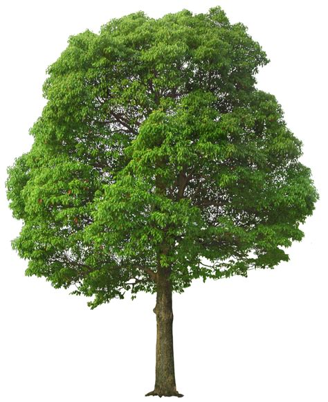 large trees large green tree png picture 풍곤