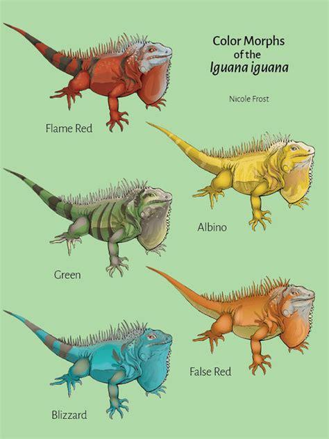 do iguanas change color color morphs of the iguana iguana by clipitswings on