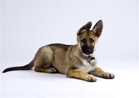 major breeds big city dogs the most popular breeds in 10 major u s cities