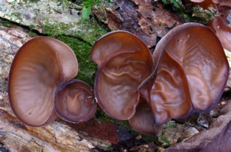 Gambar Bibit Jamur Tiram Putih cara menanam dan budidaya jamur kuping bibitbunga