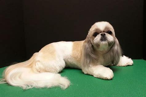 shih tzu hairdos shih tzu shih tzu haircut dog grooming dog grooming by