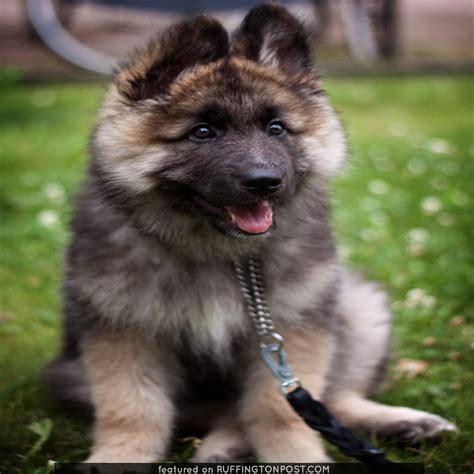 dogs that look like german shepherds german shepherd pup alfons looks like a teddy