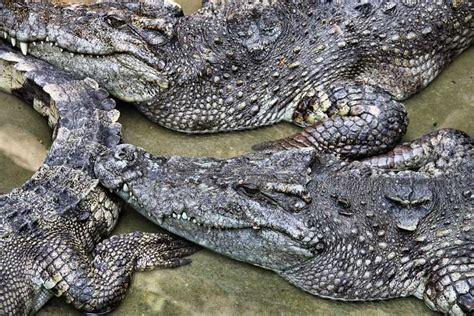 Twenty critically endangered Siamese crocodiles hatch in ...