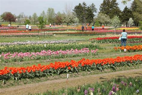 Veldheer Tulip Gardens by Fields Of Tulips And Tourists Picture Of Veldheer Tulip