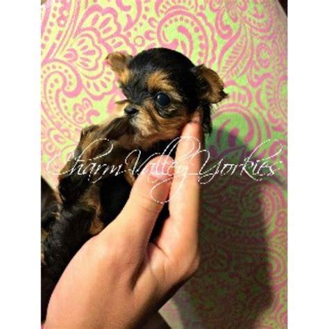 yorkie breeder ohio terrier yorkie breeders in ohio freedoglistings