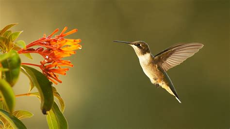 super hummingbirds about nature pbs
