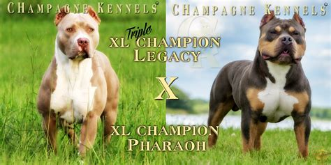 tri puppies chion legacy xl chion pharaoh