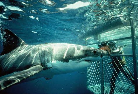 gabbia squali africa vera in sudafrica per guardare negli occhi lo