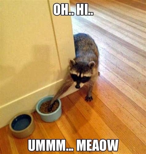Raccoon Memes - raccoon cat funny animal meme picture