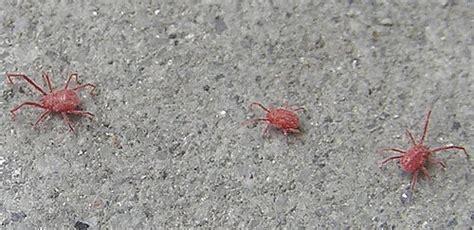 kleine rode spinnetjes in huis vermi strani forum di giardinaggio it