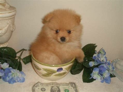 baby pomeranian puppies for sale best 25 teacup pomeranian puppy ideas only on pomeranians pomeranian