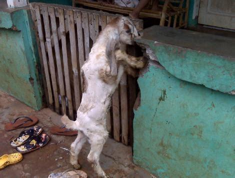 Anakan Kambing Randu seputar kambing 171 ciangsana farm