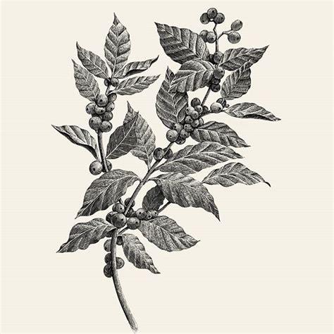 coffee plant wallpaper 27 best tattoo inspirations images on pinterest tattoo