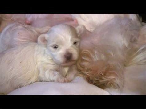 puppies at 2 weeks maltese puppies 2 weeks in hd