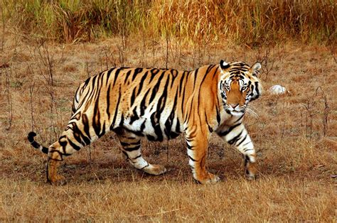 the tiger who would famous wild animals of maharashtra sevafortigers