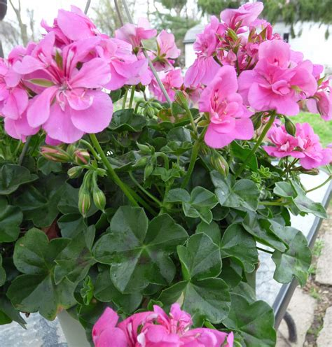 trailing geranium ivy how to grow ivy leaf geranium plants