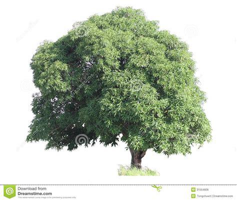 Small Home Plans Free mango tree royalty free stock image image 31554806